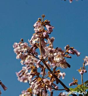 seminte de paulownia - imagine 6