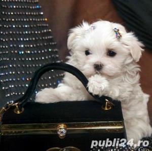 Bichon Maltez Mini - Livrare in Orice Oras - imagine 2