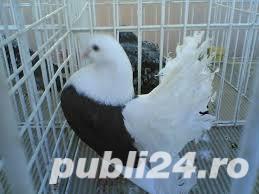 Vand porumbei voltati de diferite culori - imagine 2