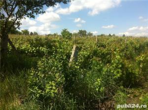 Vand  2 hectare ( Posibil si PARCELAT pt . casa  ) vie nobila  tomesti / dealul doamnei - imagine 3