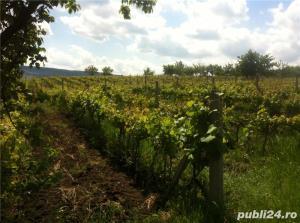 Vand  2 hectare ( Posibil si PARCELAT pt . casa  ) vie nobila  tomesti / dealul doamnei - imagine 2