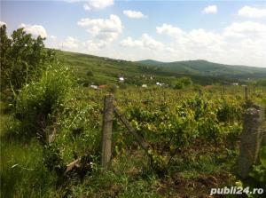Vand  2 hectare ( Posibil si PARCELAT pt . casa  ) vie nobila  tomesti / dealul doamnei - imagine 5