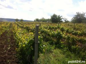 Vand  2 hectare ( Posibil si PARCELAT pt . casa  ) vie nobila  tomesti / dealul doamnei - imagine 4