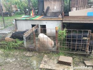 Porci vietnamezi  Olt - imagine 12