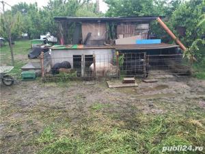 Porci vietnamezi  Olt - imagine 15