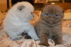 Vindem pisicute scottish fold bucuresti brasov constanta oradea - imagine 3