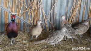 vand oua incubat fazani - comuni si tenebros - imagine 1