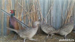 vand oua incubat fazani - comuni si tenebros - imagine 5