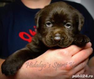 Pui Labrador Retriever cu pedigree tip A - imagine 2