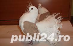 Vand porumbei voltati de diferite culori - imagine 3