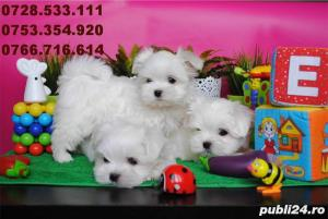 Bichon Maltez Mini - Livrare in Orice Oras - imagine 1