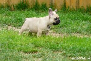 Bulldog Francez rasa pura la oferta! Livrare in tara! - imagine 2