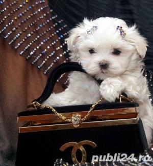 Bichon Maltez Mini - Livrare in Orice Oras - imagine 3
