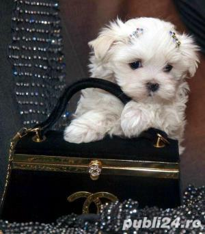 Bichon Maltez Mini - Livrare in Orice Oras - imagine 4