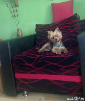 Monta mascul Yorkshire Terrier - imagine 6