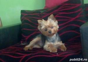 Monta mascul Yorkshire Terrier - imagine 5