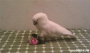 Papagali Kakadu - imagine 1