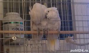 Papagali Kakadu - imagine 2