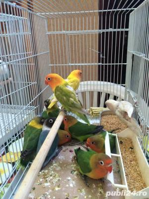 Vand papagali AGAPORNIS - imagine 3