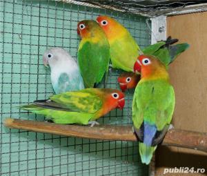 Vand papagali AGAPORNIS - imagine 1