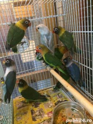 Vand papagali AGAPORNIS - imagine 5
