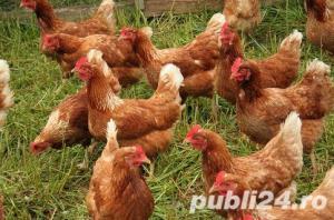 Oua pentru incubat gaini ouatoare ,Plymouth Rock-20+10 gratis - imagine 5