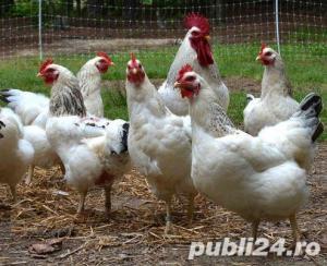Oua pentru incubat gaini ouatoare ,Plymouth Rock-20+10 gratis - imagine 6