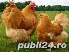 Oua pentru incubat gaini ouatoare ,Plymouth Rock-20+10 gratis - imagine 4