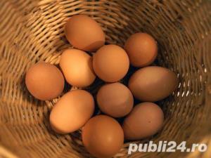 Oua pentru incubat gaini ouatoare ,Plymouth Rock-20+10 gratis - imagine 2