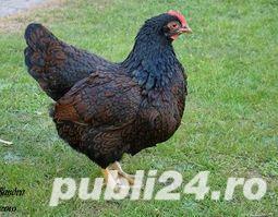 Oua pentru incubat gaini ouatoare ,Plymouth Rock-20+10 gratis - imagine 10