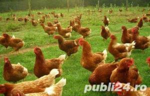 Oua pentru incubat gaini ouatoare ,Plymouth Rock-20+10 gratis - imagine 1