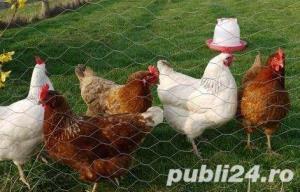 Oua pentru incubat gaini ouatoare ,Plymouth Rock-20+10 gratis - imagine 12