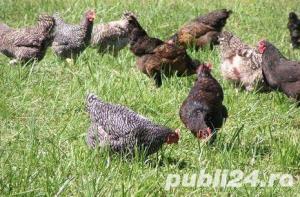 Oua pentru incubat gaini ouatoare ,Plymouth Rock-20+10 gratis - imagine 14