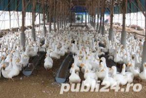 Oua pentru incubat rate mute lesesti,Pekin -20+10 gratis - imagine 11
