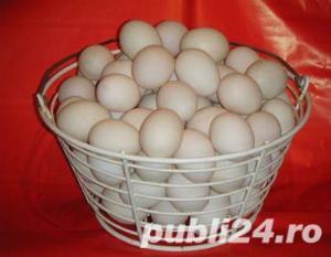 Oua pentru incubat rate mute lesesti,Pekin -20+10 gratis - imagine 14