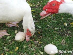 Oua pentru incubat rate mute lesesti,Pekin -20+10 gratis - imagine 15