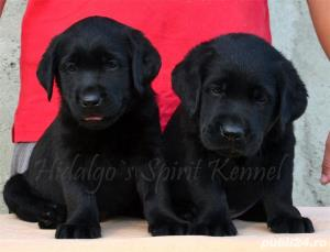Pui Labrador Retriever cu pedigree tip A - imagine 3