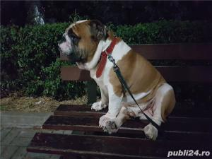 OFER pt. monta buldog englez 7 ani, pedigree A,campion. - imagine 4