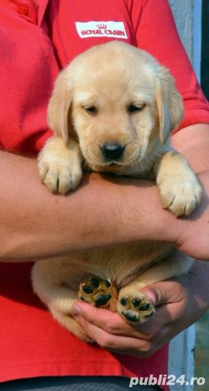Pui Labrador Retriever cu pedigree tip A - imagine 12