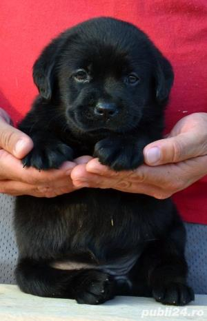 Pui Labrador Retriever cu pedigree tip A - imagine 13