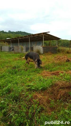 Vand Porci Mangalita  Rasa Pura !!! - imagine 1