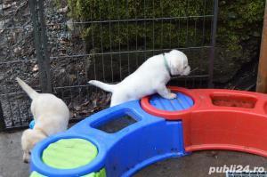 Labradori de calitate, par scurt, rasa pura - imagine 2