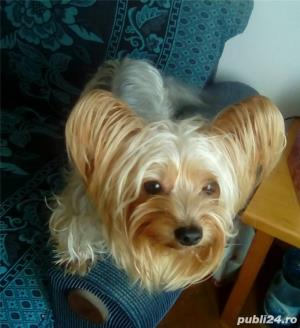 Yorkshire terrier toy imperechiere.Nu este de vanzare! - imagine 4