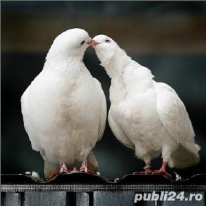 Porumbei albi de nunta  - imagine 3