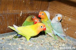 Vand papagali AGAPORNIS - imagine 6