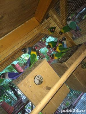 Vand papagali AGAPORNIS - imagine 4