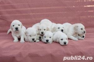 Vand catei Golden retriever - imagine 3