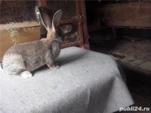 Vand iepuri urias German gri - imagine 1