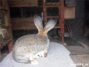 Vand iepuri urias German gri - imagine 6