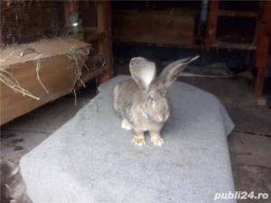 Vand iepuri urias German gri - imagine 3